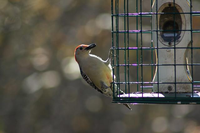 Red Bellied Woodpecker @ Heckrodt Wetlands