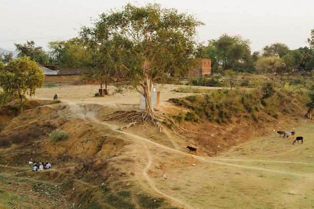 Tree & Goats in Satna Riverbed, Madhya Predesh India