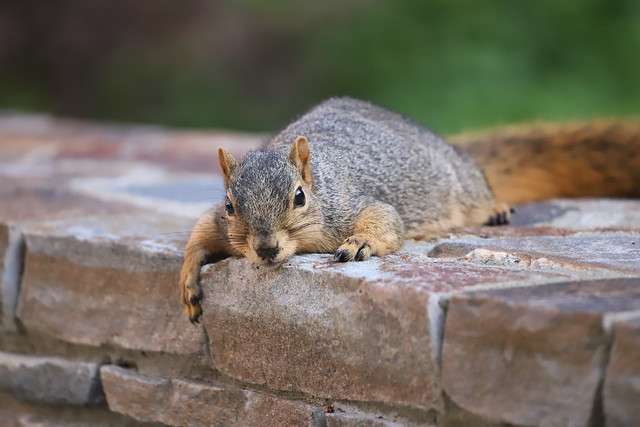 139/366/4156 (October 28, 2019) - Juvenile and Adult Fox Squirrels in Ann Arbor at the University of Michigan - October 28th, 2019