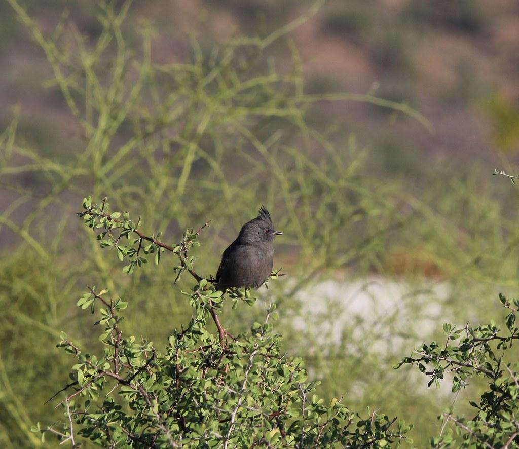 Phainopepla Mesa AZ