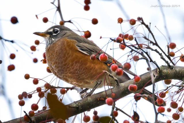 NY Robin Eating Berries