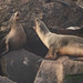 Flickr photo 'California Sea Lions, Zalophus californianus (Lesson, 1828)' by: Misenus1.