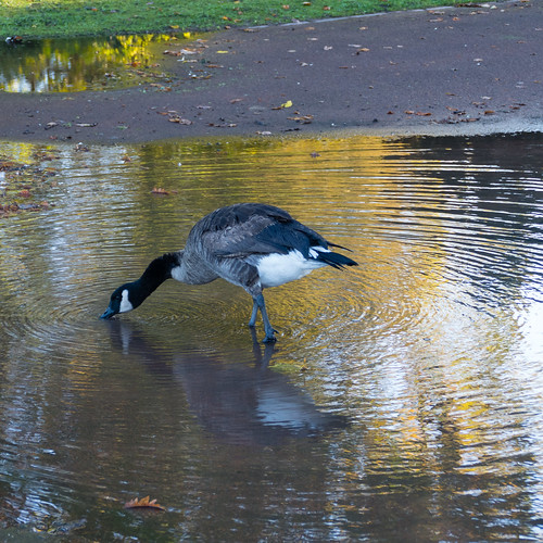 Toes in the water - Canada goose, West Park