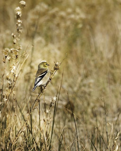 02469376423026-117-19-10-American Goldfinch in  Alkali Springs Nevada-5