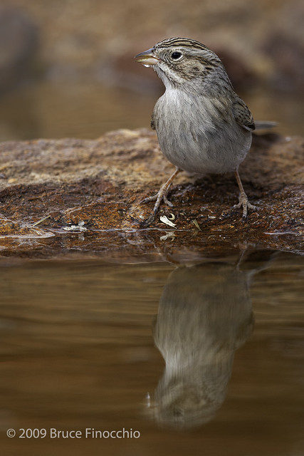 A Brewer's Sparrow With A Drop Of Water On Beak