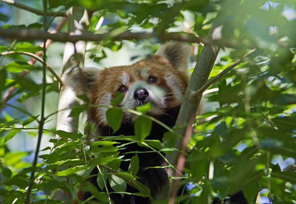 Red Panda Ailurus Fulgens Paignton Zoo Devon Sept 2 Flickr