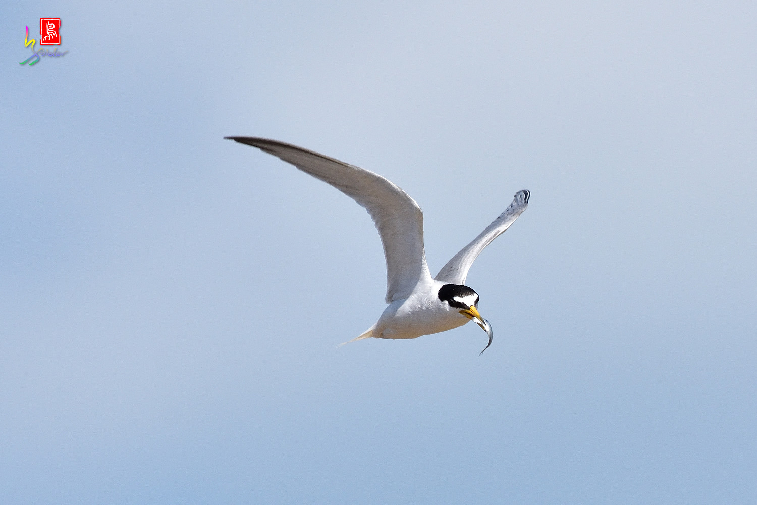 Little_Tern_7848
