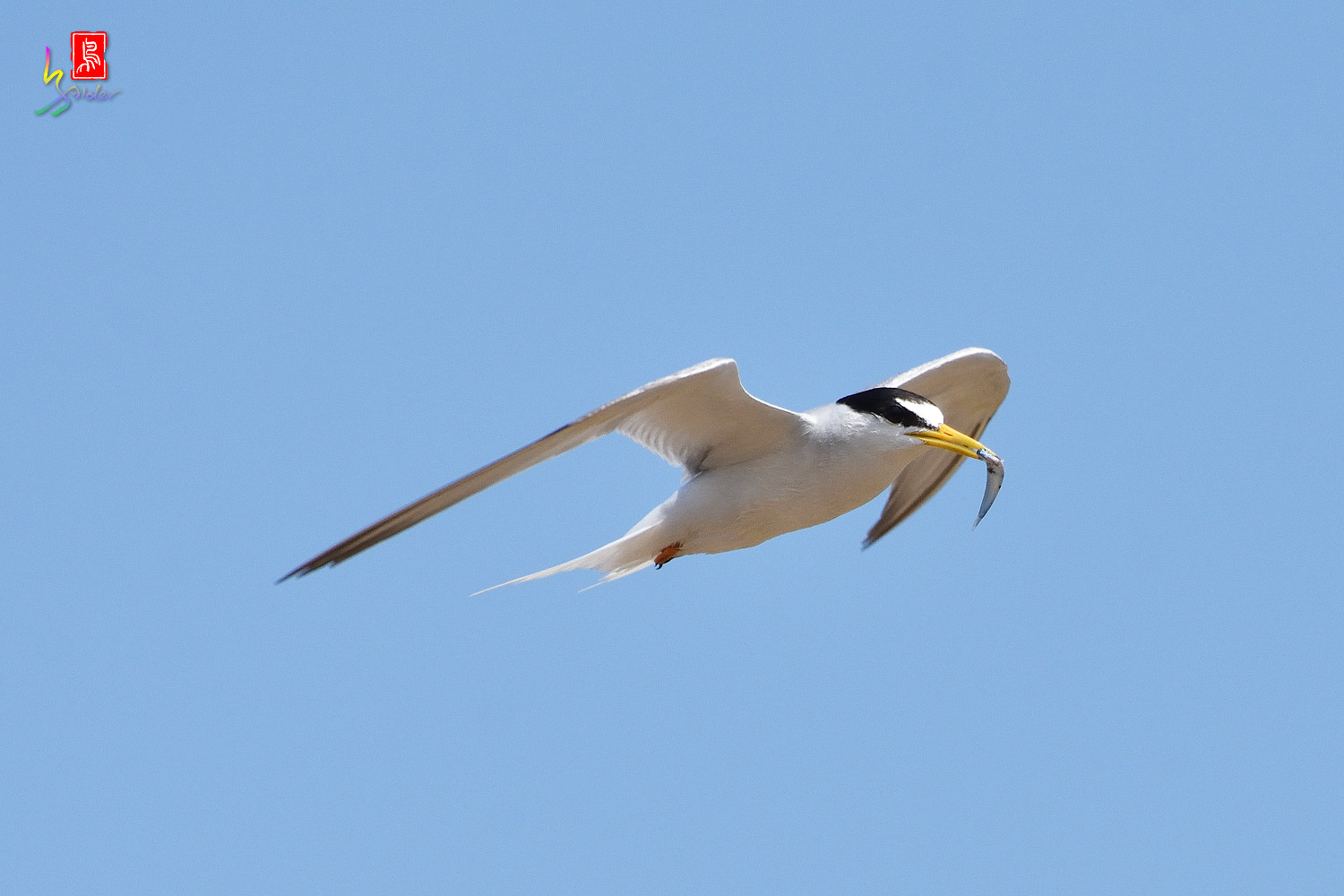 Little_Tern_7754