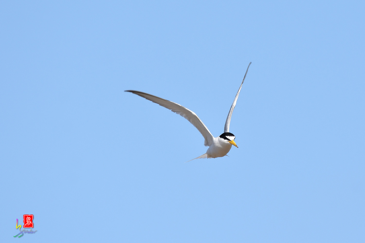 Little_Tern_7241