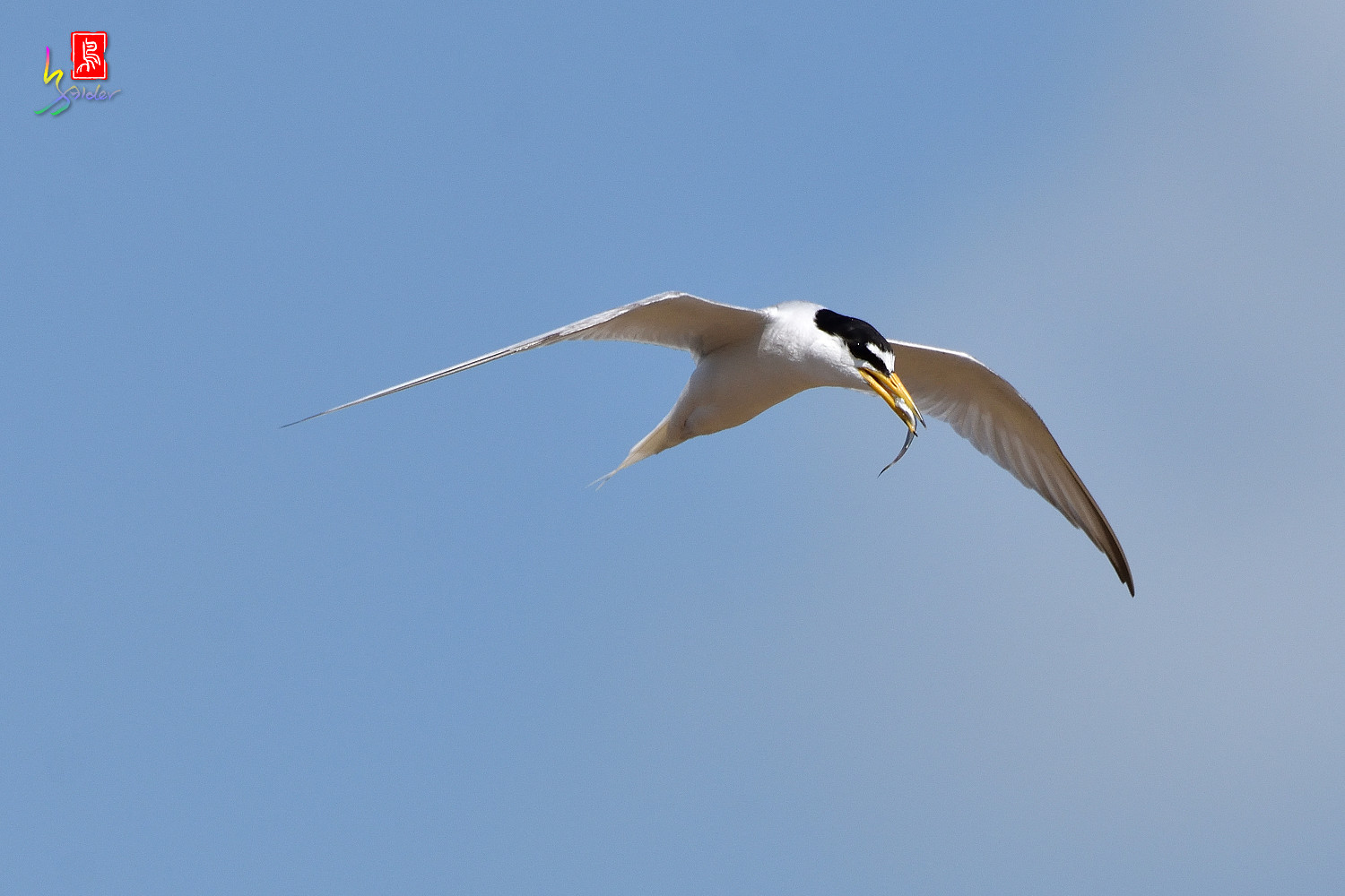 Little_Tern_7842