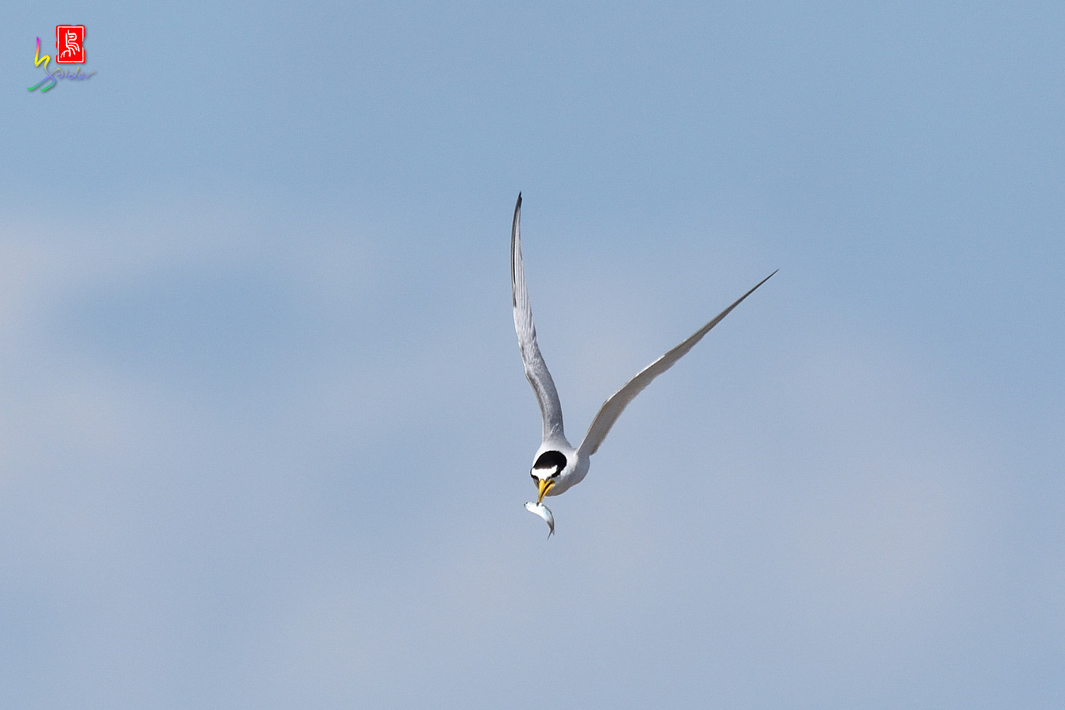 Little_Tern_7628