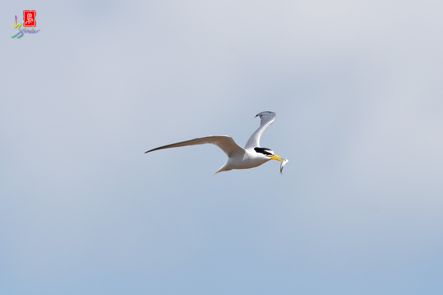 Little_Tern_7492