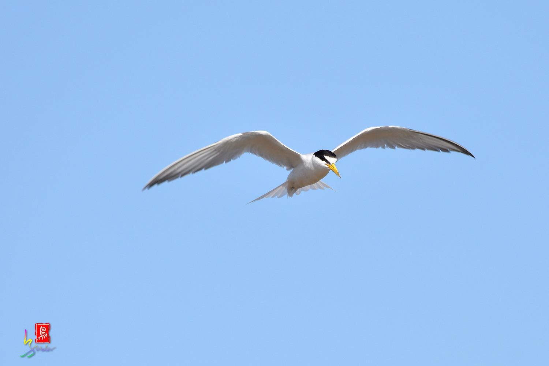 Little_Tern_7239