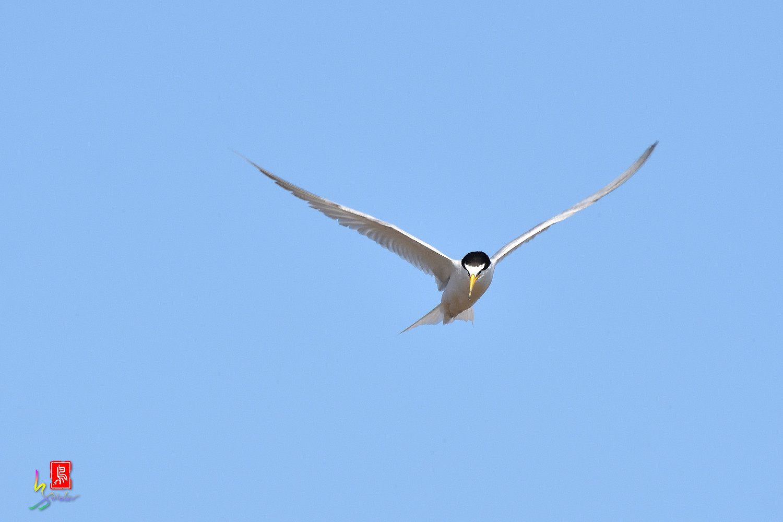 Little_Tern_7234