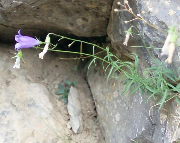 Campanula rotundifolia 48978933876_b4306c4390_o