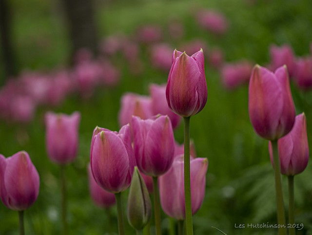 2019 04 29 - pink tulip 3a
