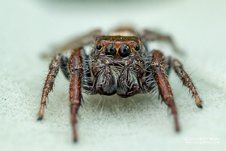 Jumping spider (cf. Opisthoncus sp.) - DSC_0786
