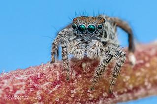 Coastal peacock jumping spider (Maratus speciosus) - DSC_0530
