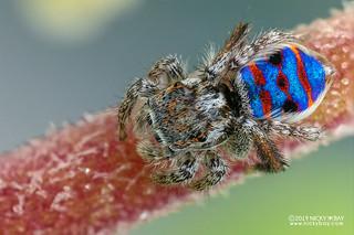 Coastal peacock jumping spider (Maratus speciosus) - DSC_0497