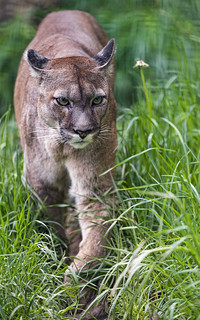 Old puma walking in the grass