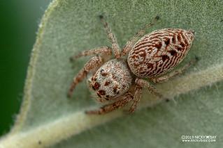 Jumping spider (cf. Opisthoncus sp.) - DSC_0802
