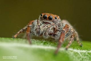 Jumping spider (cf. Opisthoncus sp.) - DSC_0793