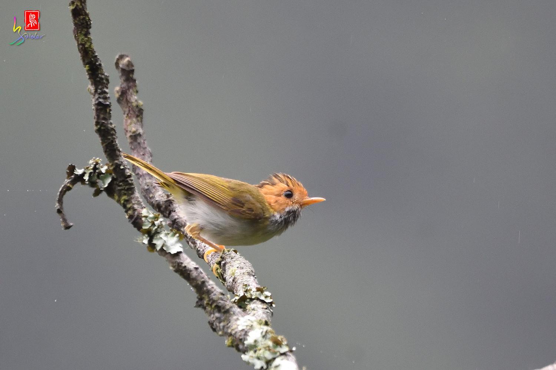 Rufous-faced_Warbler_1026