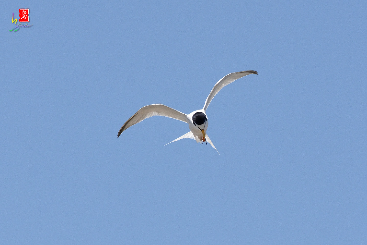 Little_Tern_8018