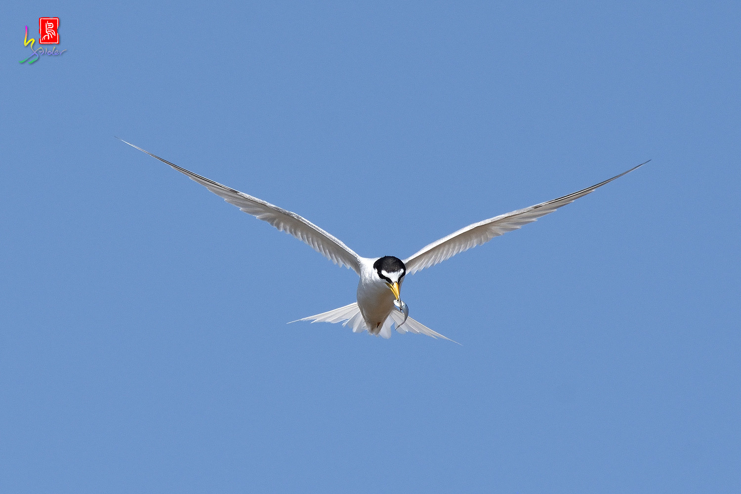 Little_Tern_7908