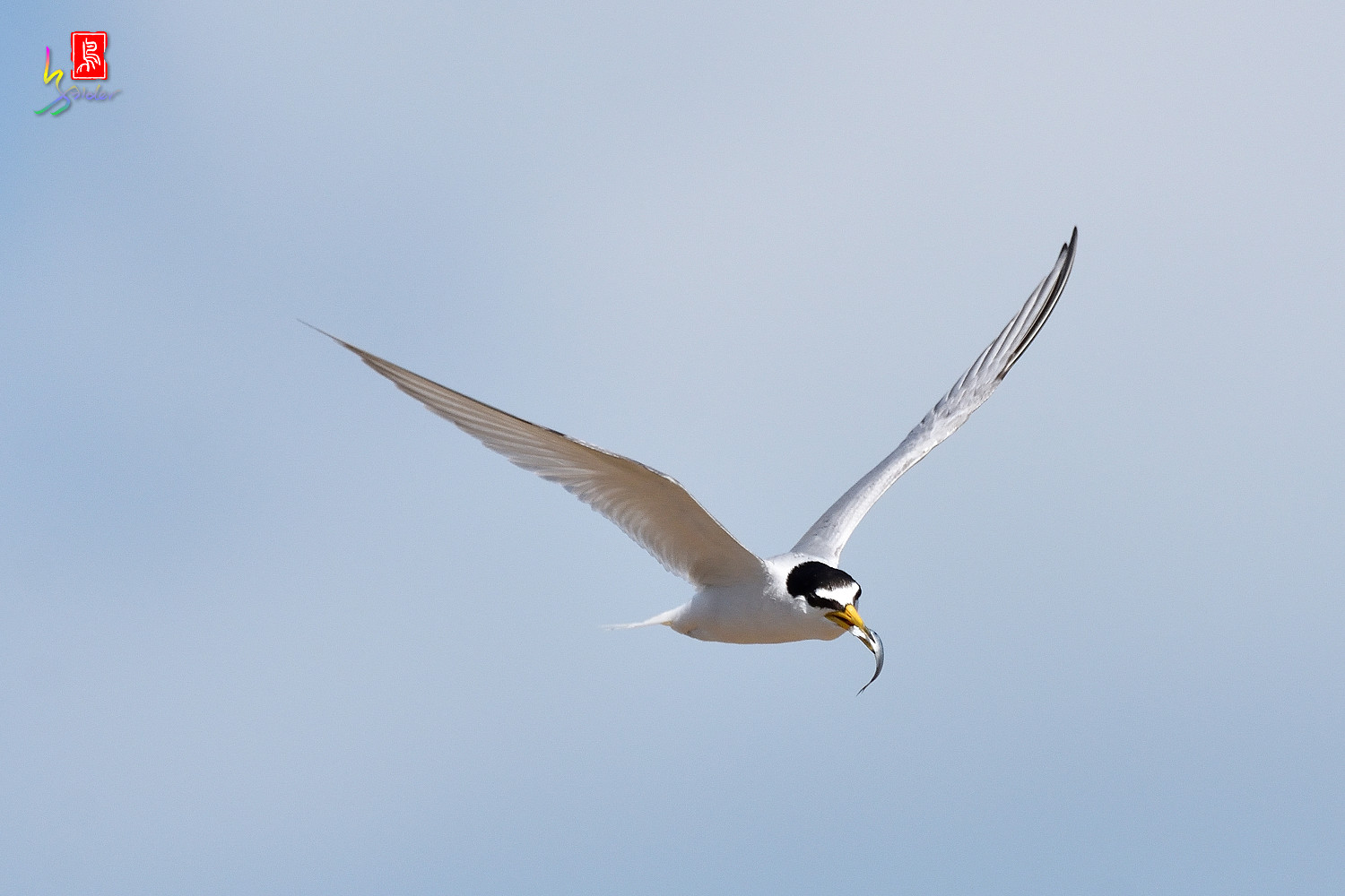 Little_Tern_7847