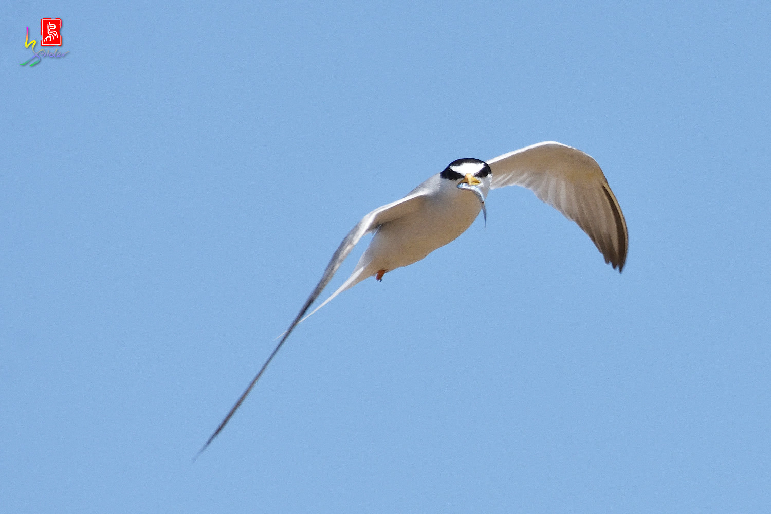 Little_Tern_7756