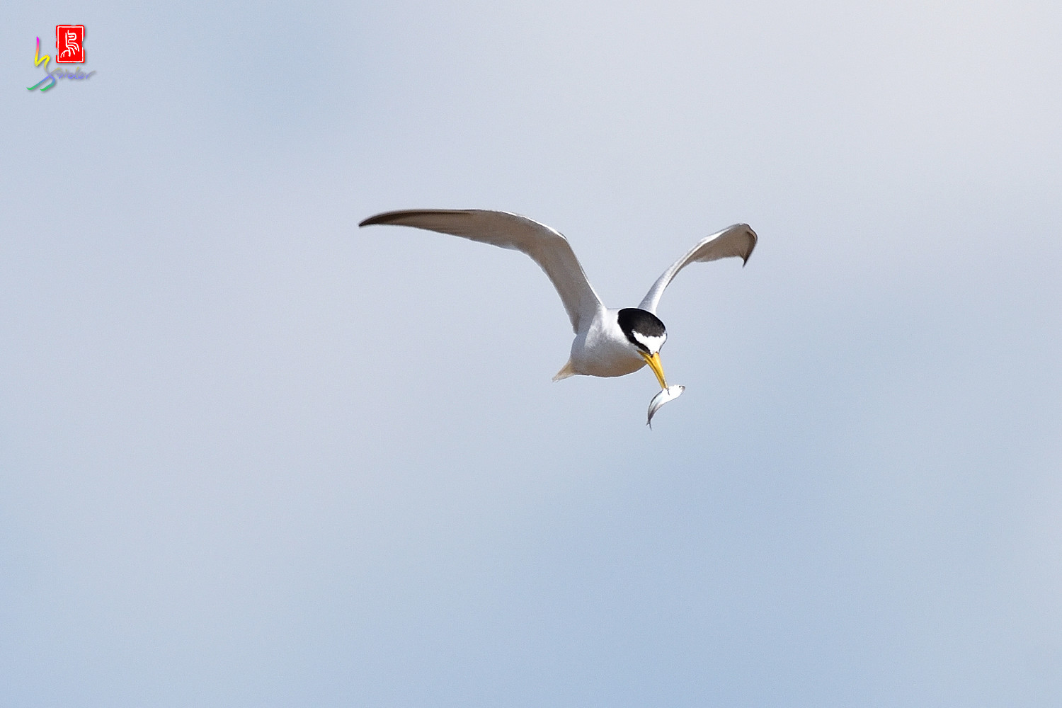 Little_Tern_7497