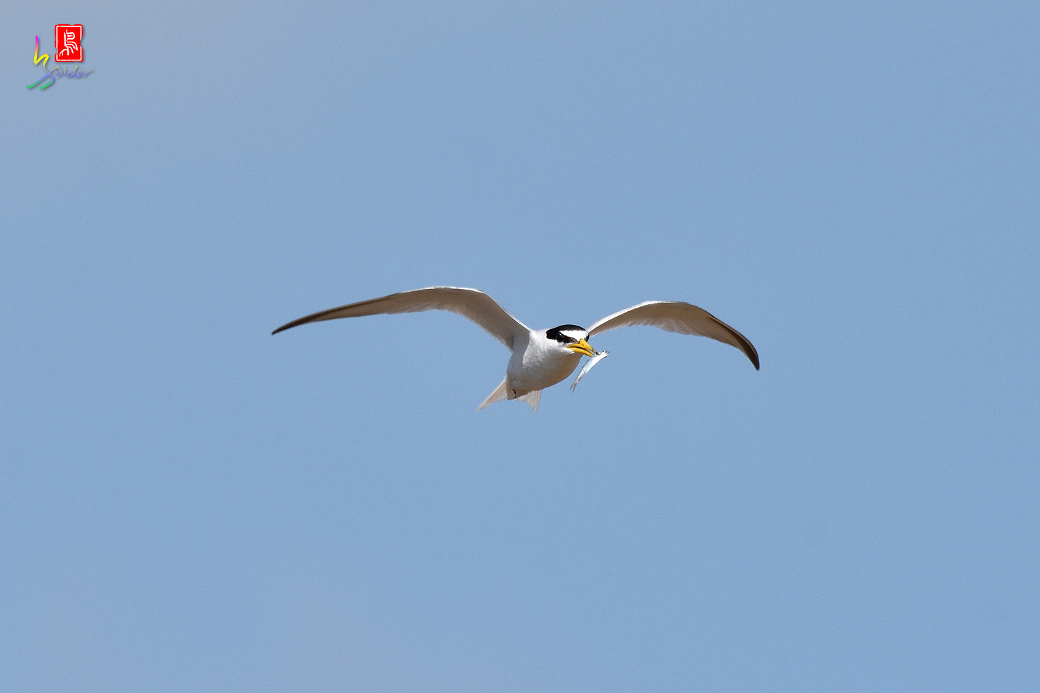 Little_Tern_7484