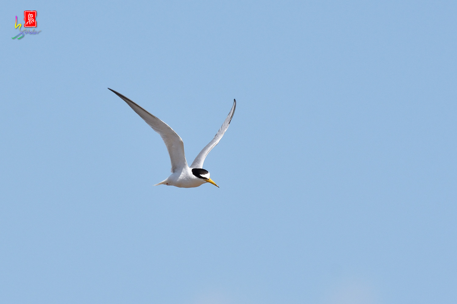 Little_Tern_7457
