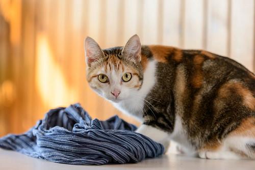Zoe, gatita tricolor jaspeada divertida y guapa esterilizada, nacida en Septiembre´18, en adopción. Valencia. 48979566921_a59a45db23