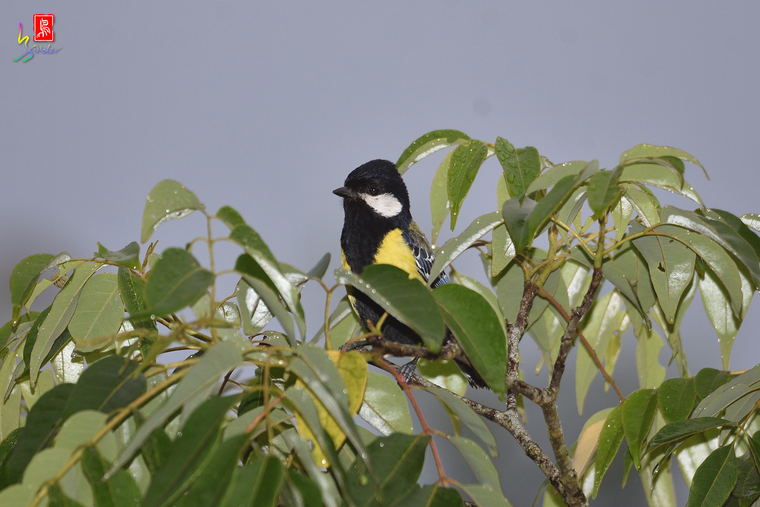 Green-backed_Tit_1160