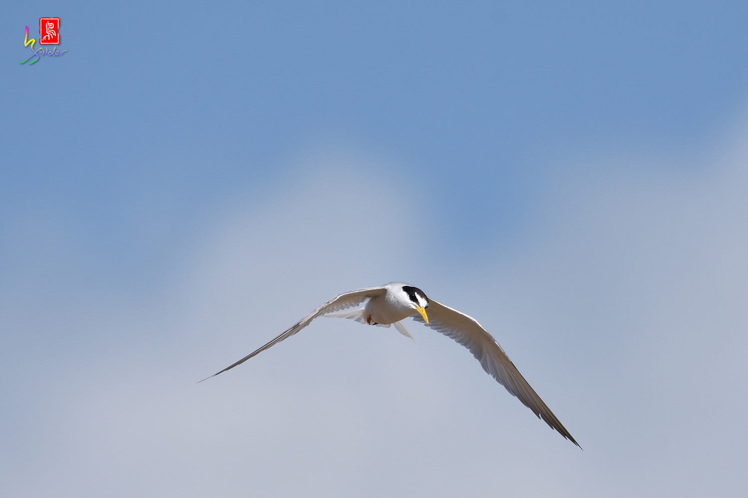 Little_Tern_7787