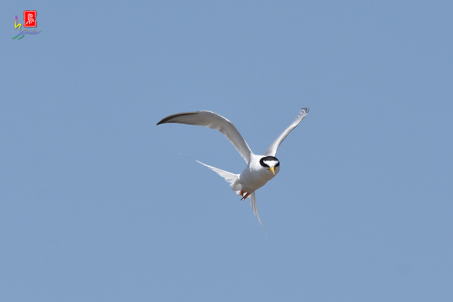 Little_Tern_8014