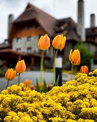 Un arco de tulipanes :tulip: en Bariloche en la entrada del @llaollaohotel :heart_eyes: Escapada :couple_with_heart: en esta primavera  #bariloche #llaollaohotel #patagonia #argentina #iphone11pro #primavera