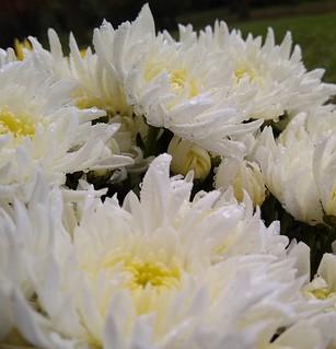 ..crisantemi...