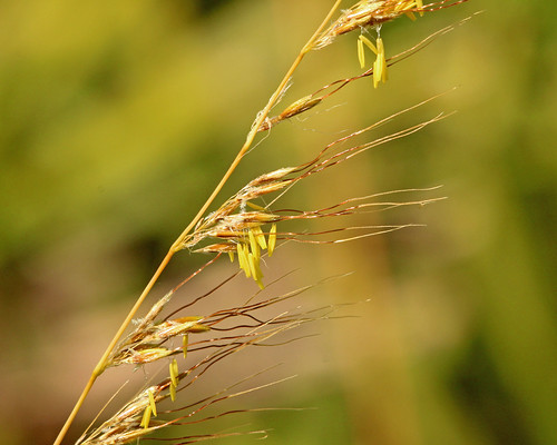 Lopsided Indiangrass (Sorghastrum secundum)