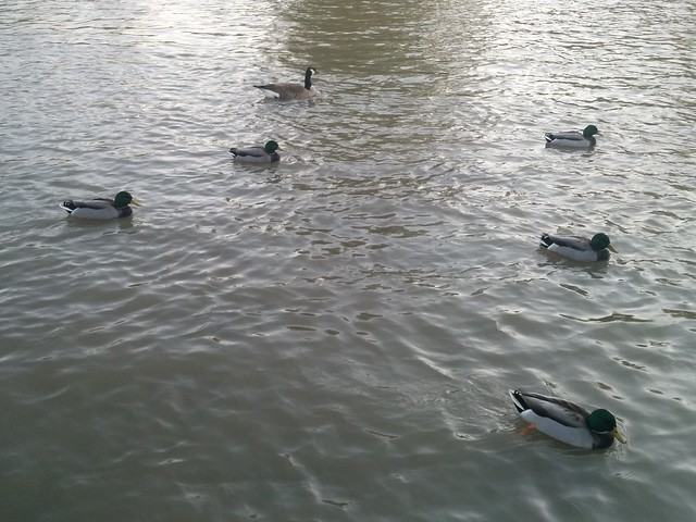Mallards (2) #toronto #humberriver #fall #autumn #birds #mallards #ducks