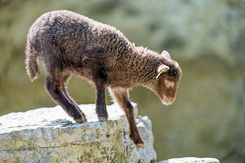 Young sheep getting down the cliff | by Tambako the Jaguar