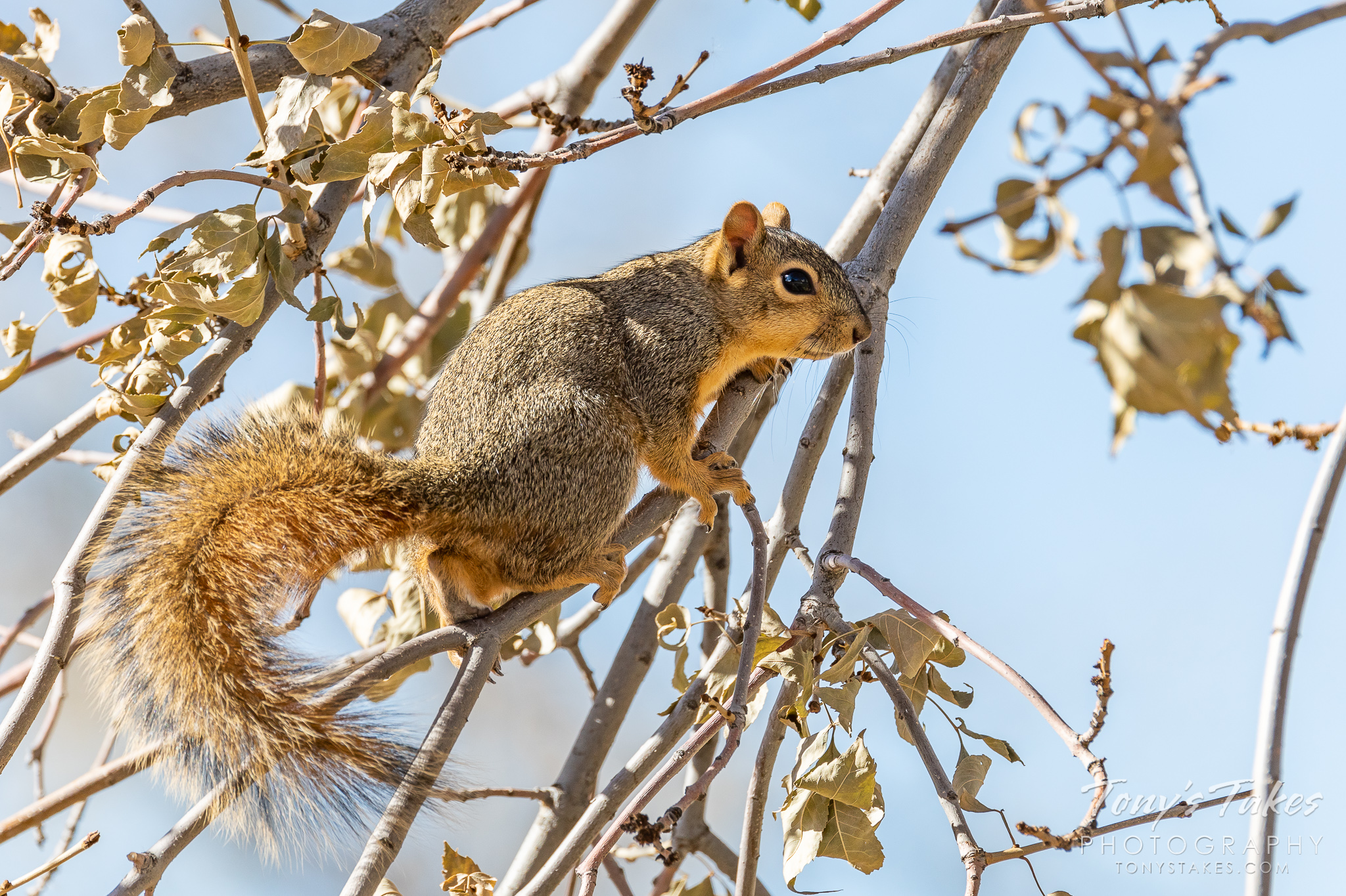 A squirrel hangs out in a tree in Thornton, Colorado. (© Tony's Takes)