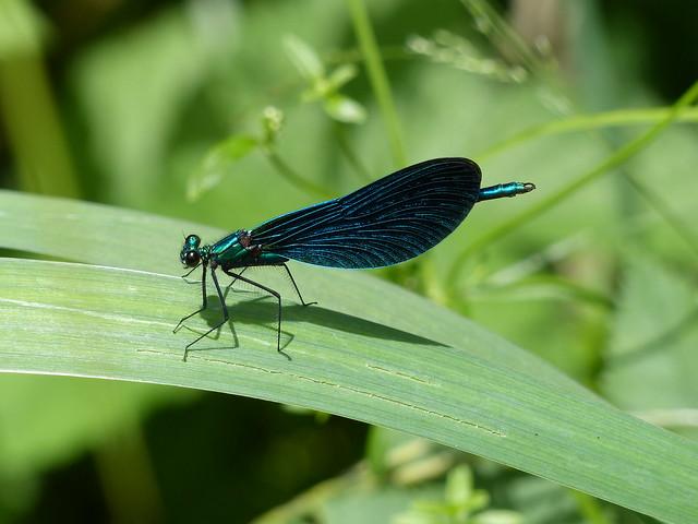 Beautiful Demoiselle - Blauflügel-Prachtlibelle, ♂
