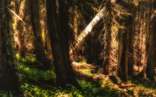 Shaft of Light Illuminates Forest