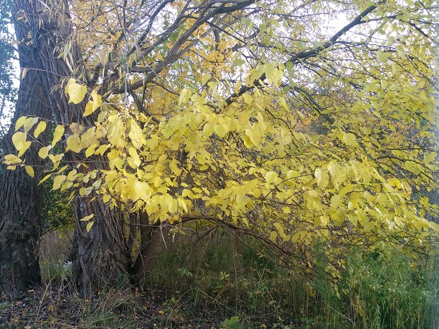 Fierce yellow #toronto #etiennebrulepark #humberriver #fall #autumn #yellow #leaves