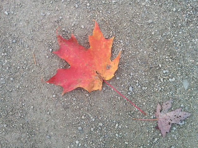 Red maple leaf #toronto #humberriver #magwoodpark #fall #autumn #red #maple #leaf #canada