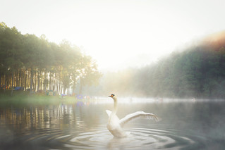 White swan in Pang ung national park | by anekphoto