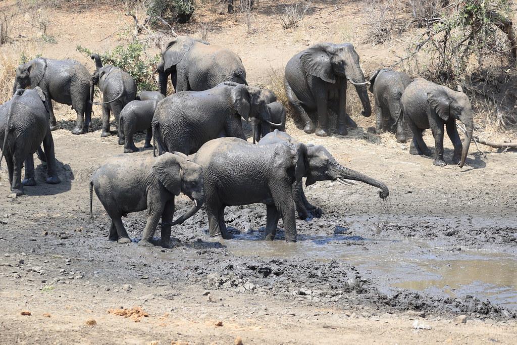 Elephants Sweni Hide